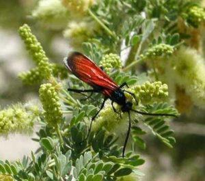 Tarantula wasps